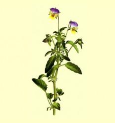 Viola Triccolor Planta Cortada (Viola tricolor L.) - 100 grams