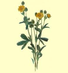 Tormentilla Raiz Cortada (tormentil·la) - 100 grams