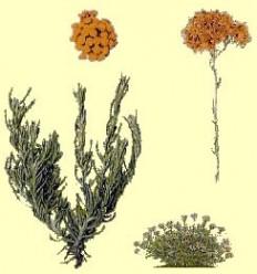 Helicriso (Helicrysum italicum) - Sol d'Or - Preu per 1 quilo ******