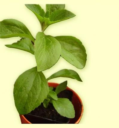 Estèvia Planta Tallada (Stevia rebaudiana) Ecològica - 100 Grams de Planta Seca